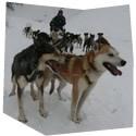 Vyjížďka se psím spřežením - dárkový poukaz na zážitek