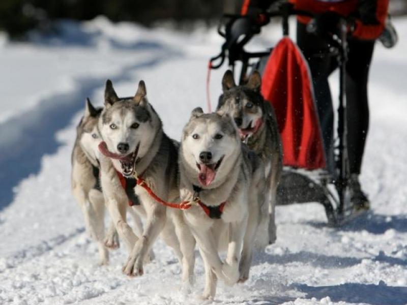 Mushing - jízda se psím spřežením - dárkový poukaz