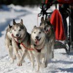 Mushing - jízda se psím spřežením - poukaz, certifikát