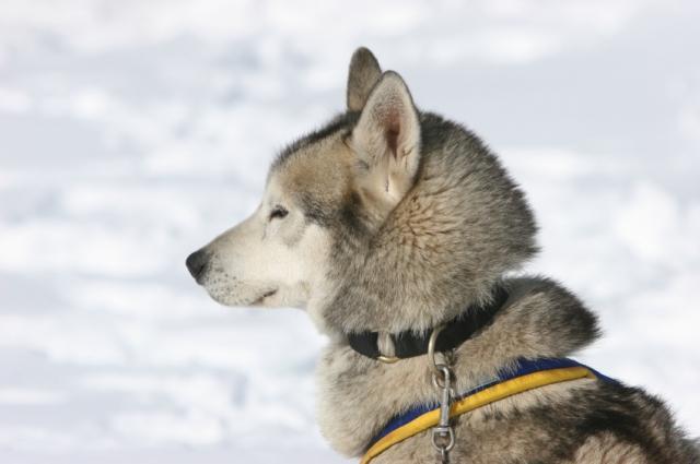 Mushing - jízda se psím spřežením - certifikát