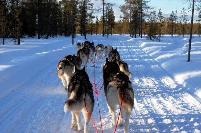 Mushing - jízda se psím spřežením - dárek